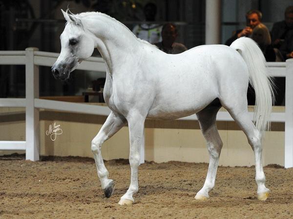 Серый араб на выставке