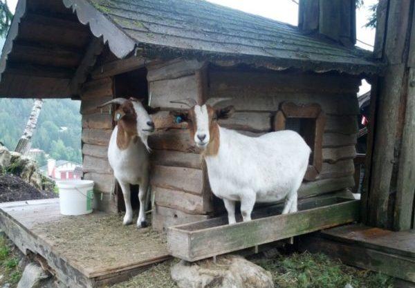Альпийские козы в горах