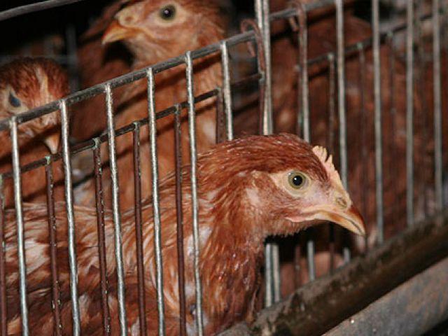 Голова курицы торчит из клетки