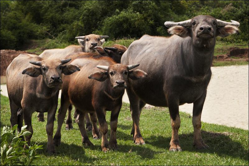 Мамы с теленками