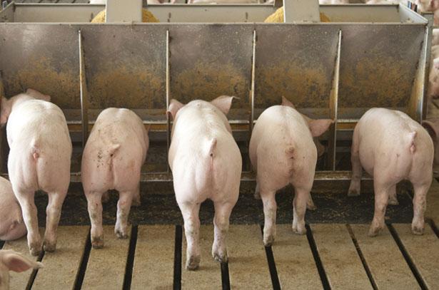 Свинки откармливаемые на бекон