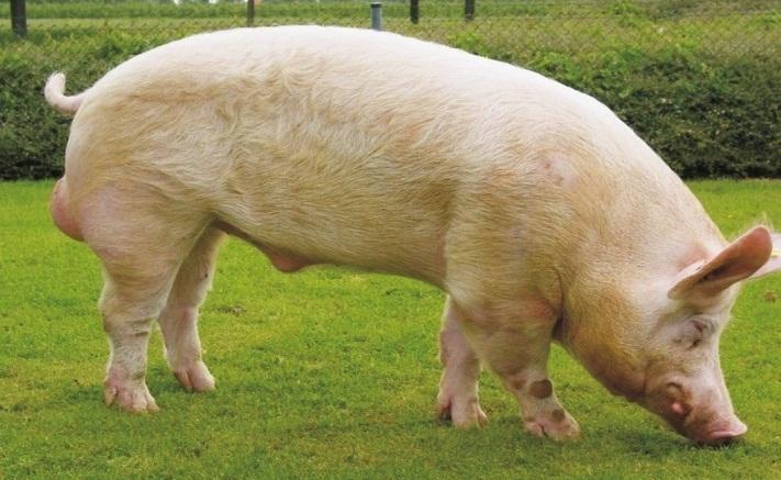 Белая свинья ест