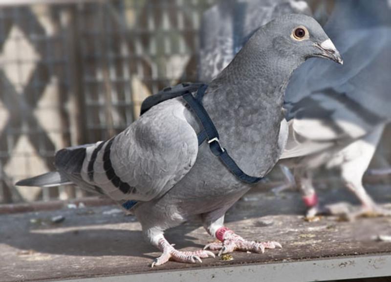 Бельгийский спортивный почтовый голубь