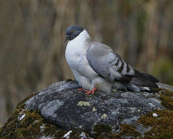 Белогрудый голубь сидит на валуне