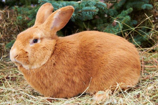 Порода Бургундский кролик