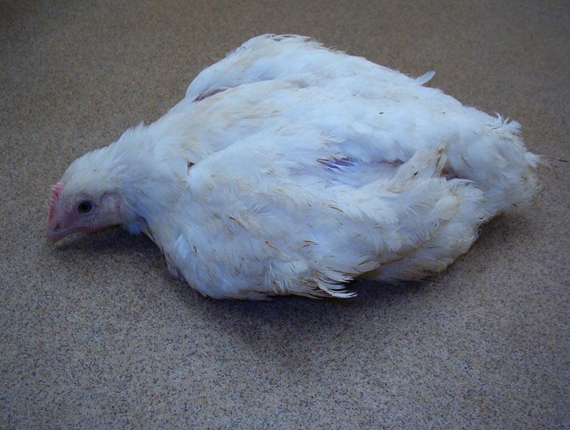 Курица лежит на полу из-за паралича