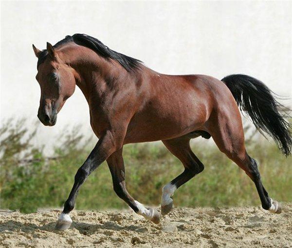Конь породы чистокровная верховая