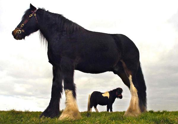 Конь породы шайр по кличке Крекер