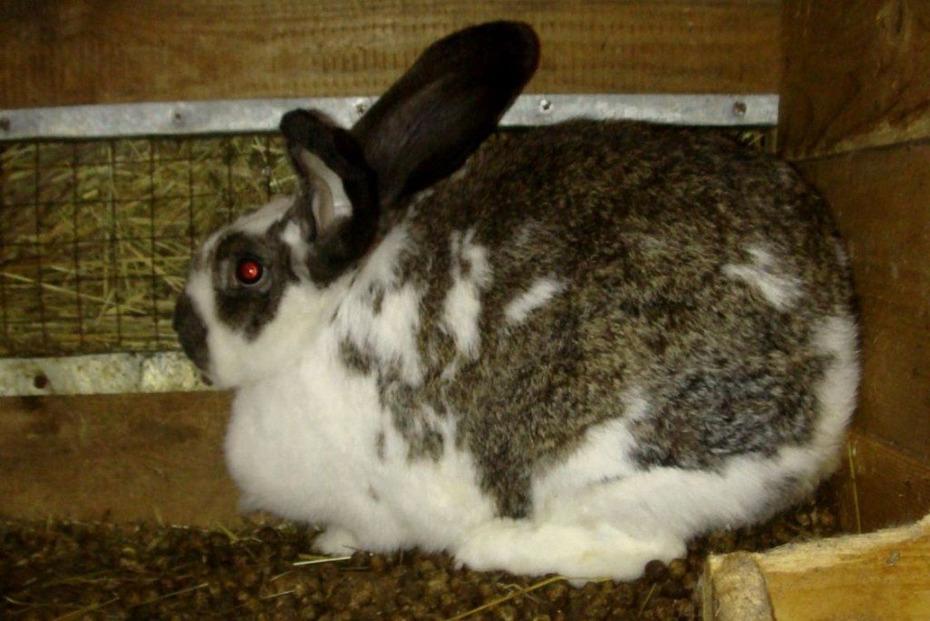 Беременная крольчиха в клетке