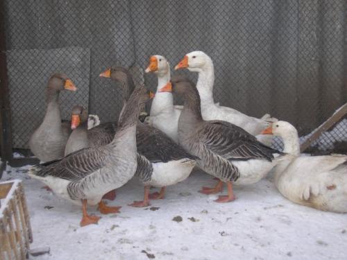 Серые и две белые утки на выгуле