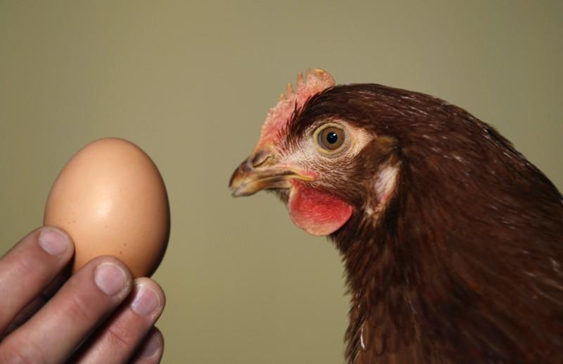 Яйцо в руках и курочка