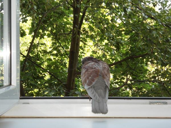 Голубь сидит в окне квартиры