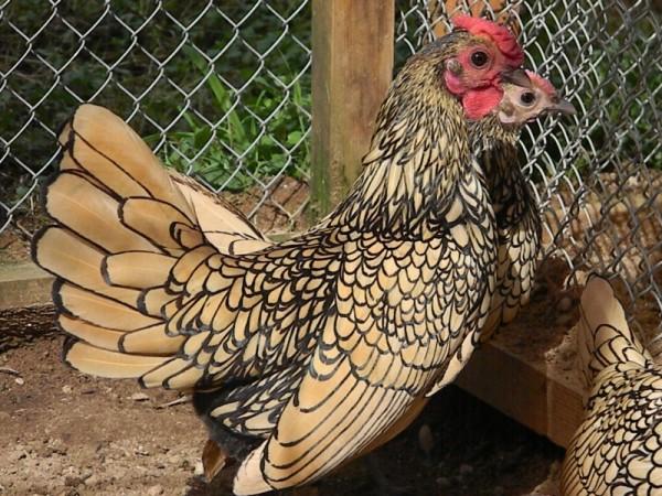 Курица Сибрайт золотистого окраса
