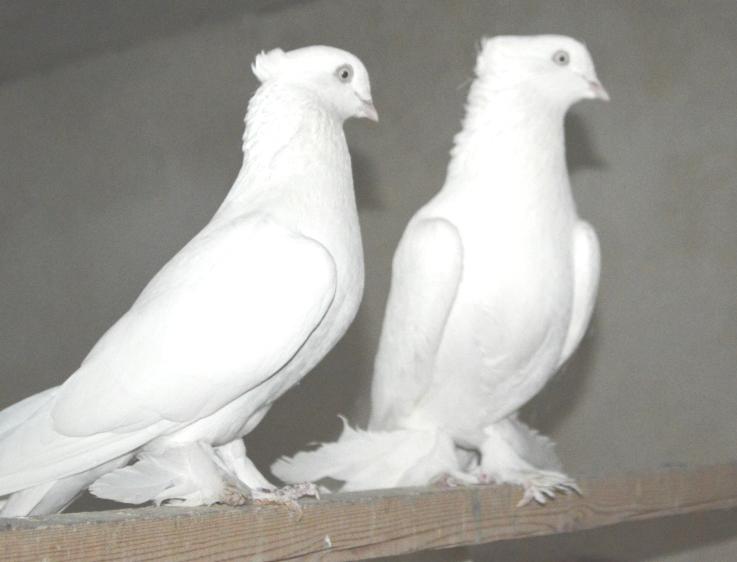 Пара Андижанских голубей