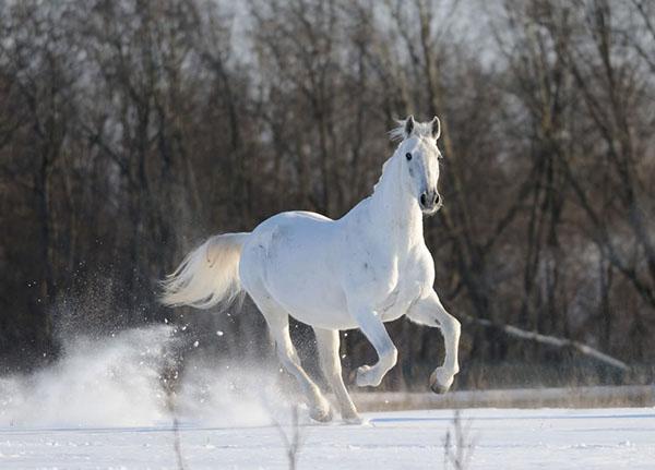 Орловский красавец бежит по полю