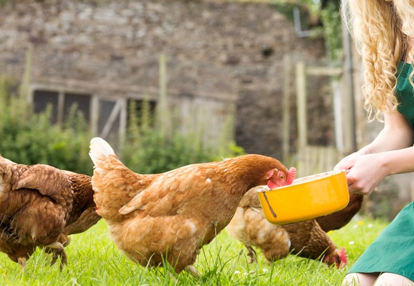 Женщина кормит курицу из миски