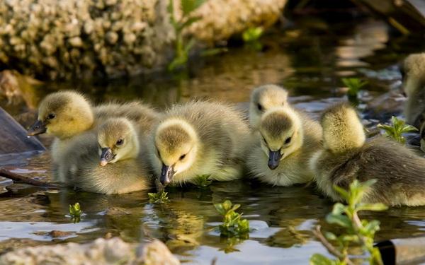 Маленькие утята в дикой природе
