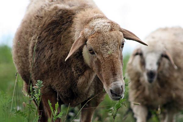 Голова эдильбаевской овечки крупным планом