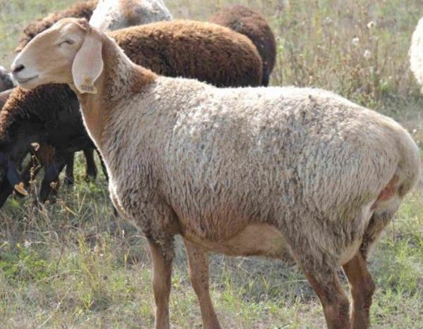 Эдильбаевская овца светлого окраса