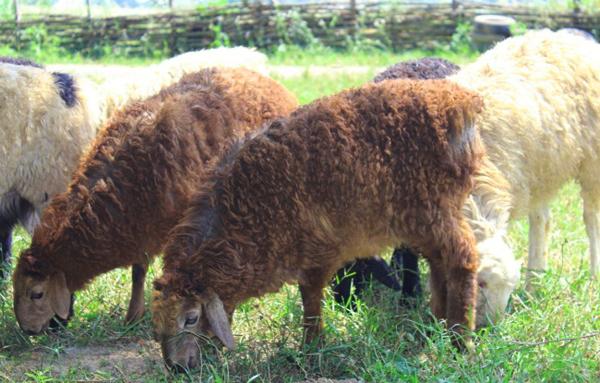 Эдильбаевские овцы пасутся на лугу