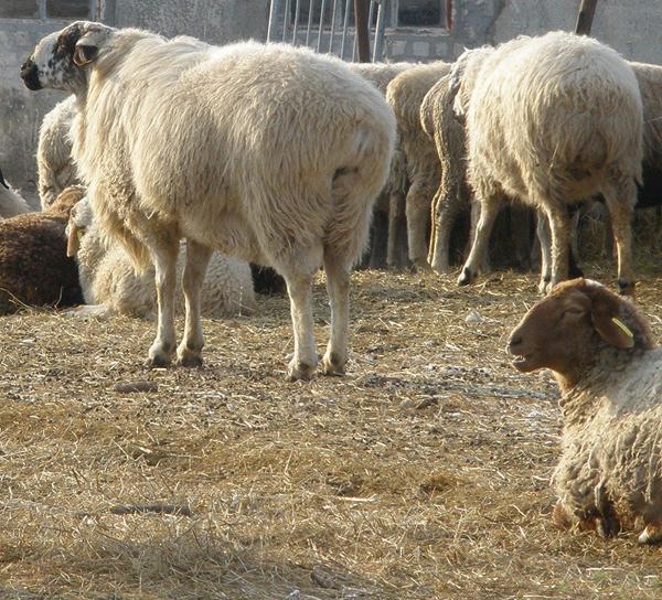 Стадо эдильбаевских овец на выгуле