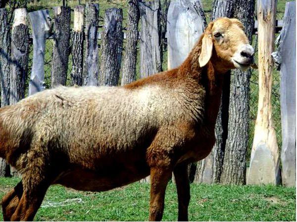 Эдильбаевская овечка в полный рост