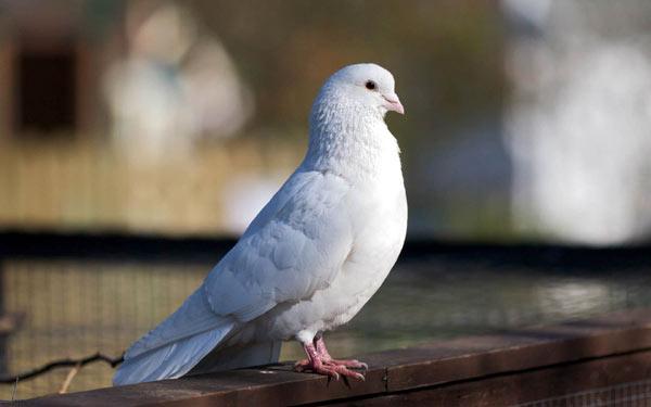 Белый Английский голубь сидит на ограде