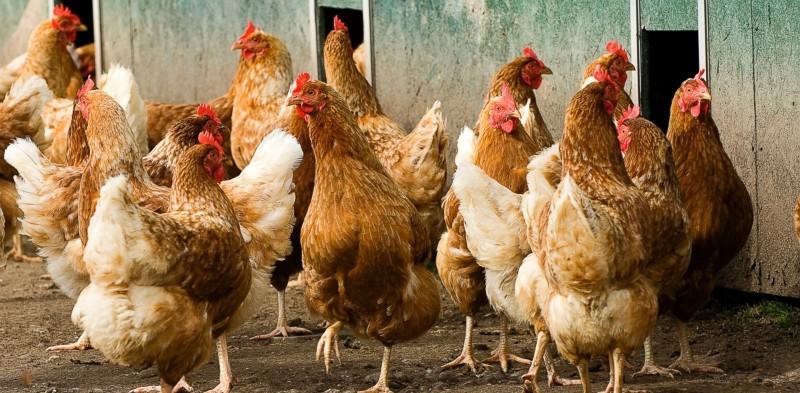 Несколько куриц гуляет