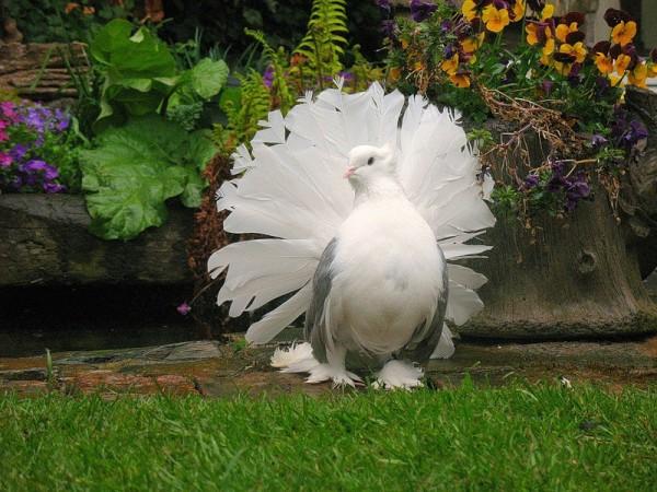 Голубь-павлин на траве