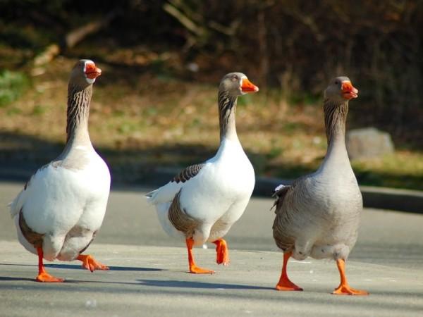Гуси идут по дороге