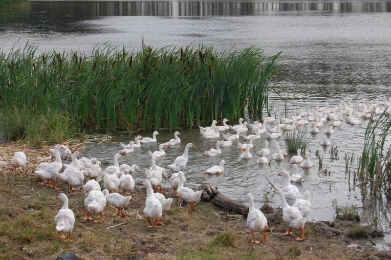 Домашние гуси пасутся около воды