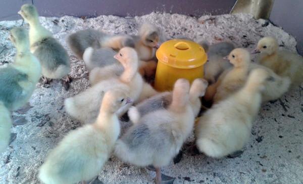Маленькие Губернаторские птенцы