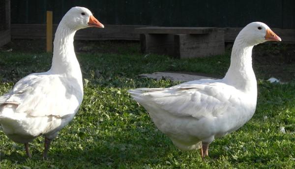 Взрослые датские гуси