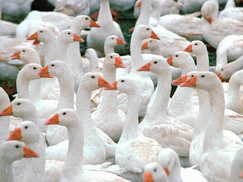 Много белых гусей на улице