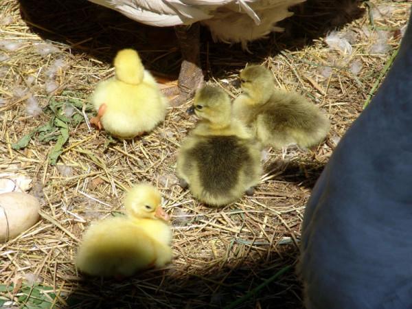 Новорожденные гусята в гнезде