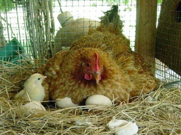 Курица с потомством в курятнике