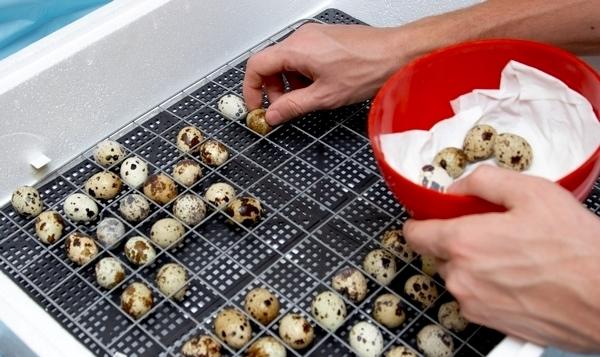 Человек укладывает яйца перепелки в инкубатор
