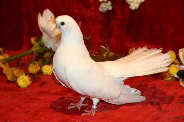 Крюковский голубь возле цветов