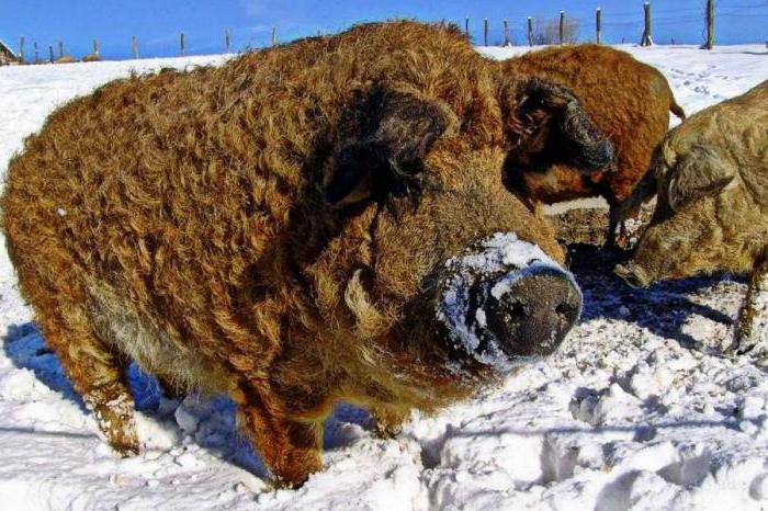 Кучерявая свинья со снегом на морде