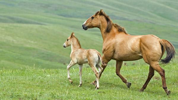 Лошадь с маленьким жеребенком на прогулке
