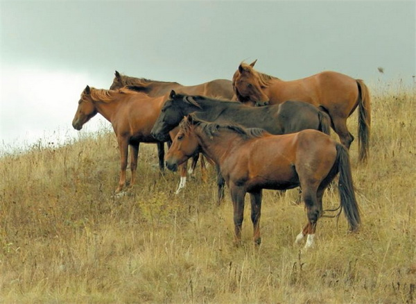 Карабахские кони в табуне