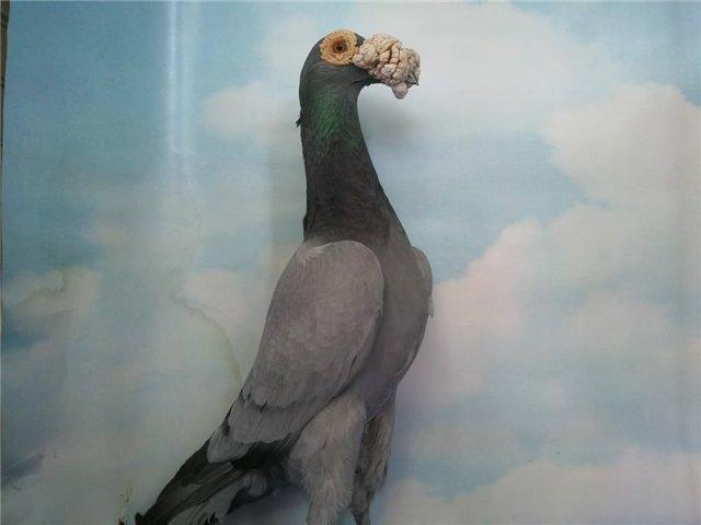 Почтовый голубь породы Карьер
