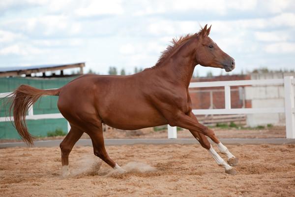Рыжий конь поднимается в галоп