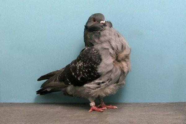 Голубка домашней породы китайская чайка