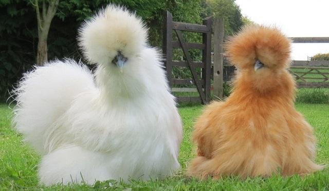 Пара китайских шелковых куриц