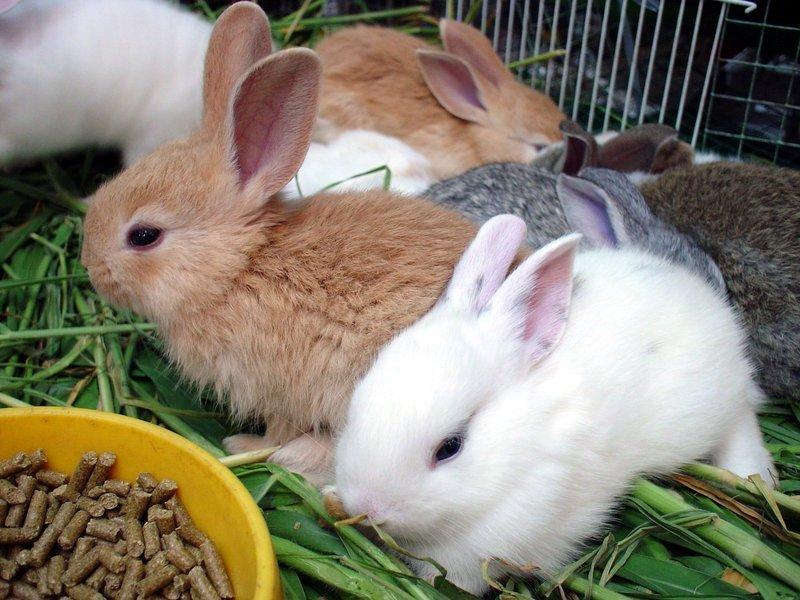 Комбикорм для кроликов в миске