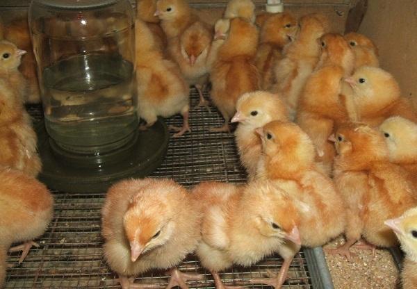 Кормление маленьких цыплят