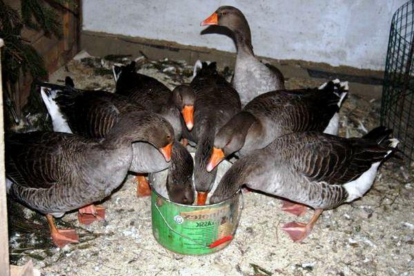 Как содержать гусей в домашних условиях зимой: рекомендации и подробные видео