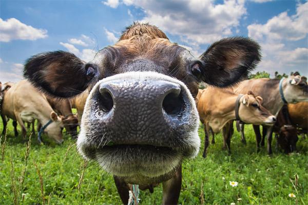 Рацион кормления коров в домашних условиях, обзор и полезные советы