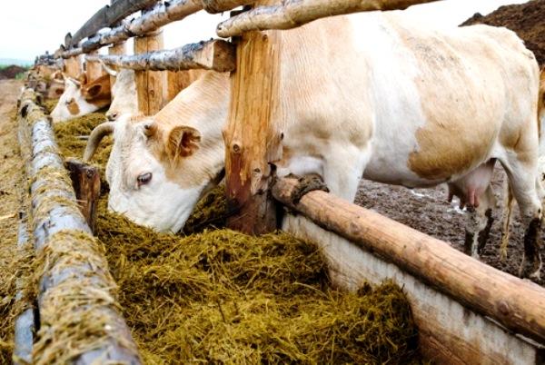 Коровы едят из кормушки сено